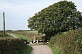 Creacombe, herd at Crowdhole Cross - geograph.org.uk - 244773.jpg