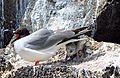 Creagrus furcatus -Genovesa Island, Galapagos Islands, Ecuador -adult and chick-8 (2).jpg
