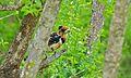Crested Barbet (Trachyphonus vaillantii) (6002397289).jpg