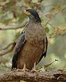 Crested Hawk Eagle 2.jpg