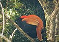 Crested Satinbird. Cnemophilus macgregorii (48727214612).jpg