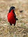 Crimson-breasted Shrike, Laniarius atrococcineus at Polokwane Nature Reserve, Polokwane, Limpopo, South Africa (14645960286).jpg