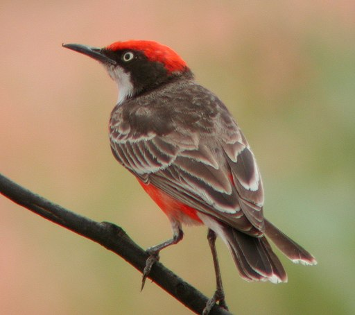 http://upload.wikimedia.org/wikipedia/commons/thumb/b/bc/Crimson_Chat_Newhaven_Sep04.JPG/512px-Crimson_Chat_Newhaven_Sep04.JPG