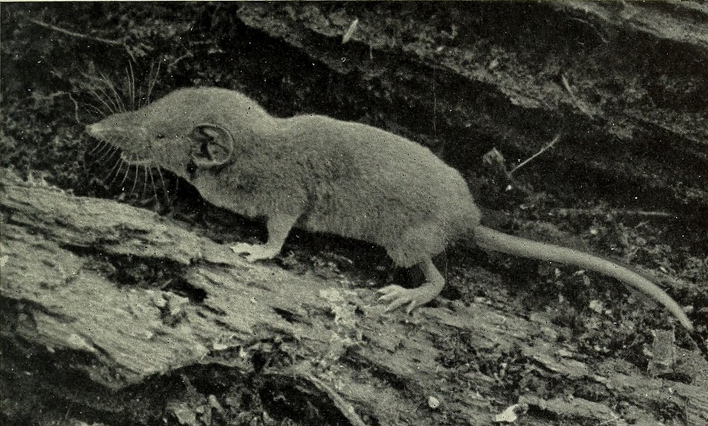 The average adult weight of a Dent's shrew is 4 grams (0.01 lbs)