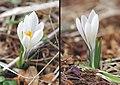 Crocus albiflorus, Christinaberg, 2009-04-09, GD-044.jpg