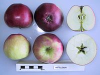 Cross section of Astillisch, National Fruit Collection (acc. 1967-002).jpg