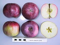 Cross section of Devon Crimson Queen, National Fruit Collection (acc. 1953-081).jpg