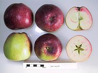 Cross section of Red Sauce, National Fruit Collection (acc. 1967-077).jpg