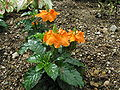 Crossandra infundibuliformis Summer Candle2.jpg