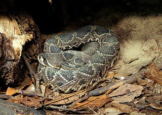 Eastern diamondback rattlesnake Species of reptile endemic to the southeastern US