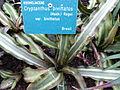 Cryptanthus bivittatus var. bivittatus.JPG