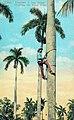 Cuba - Trepando una palma.jpg