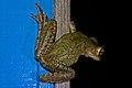 Cuban Tree Frog (Osteopilus septentrionalis) (8573972979).jpg