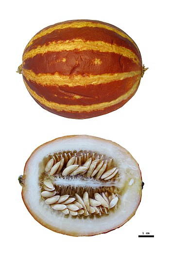 Cucumis melo var. Queen Anne's Pocket.jpg