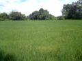 Cultivo de arroz.jpg