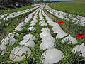 Culture de salades en plein champ.JPG