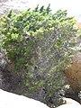 Cupressus forbesii at Coal Canyon-Sierra Peak, Orange County - Flickr - theforestprimeval (29).jpg