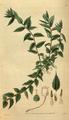 Curtis's Botanical Magazine, Plate 3093 (Volume 58, 1831).png
