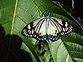 Cyclosia papilionaris - Drury's Jewel - at Peravoor (7).jpg