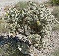 Cylindropuntia echinocarpa 5.jpg