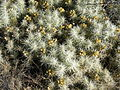 Cylindropuntia tunicata (5692957155).jpg
