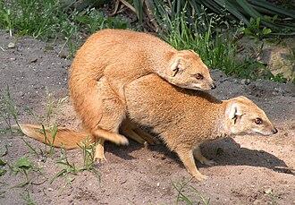 Mongoose - Cynictis penicillata mating