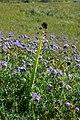 DESERT CANDLE (caulanthus inflatus) (940587152).jpg