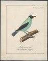 Dacnis spiza - 1700-1880 - Print - Iconographia Zoologica - Special Collections University of Amsterdam - UBA01 IZ19000383.tif