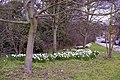 Daffodils, Enfield Road, Enfield, EN2 - geograph.org.uk - 732367.jpg