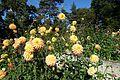 Dahlia @ Parc Floral @ Paris (30042771902).jpg
