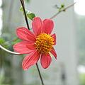 Dahlia coccinea-IMG 5879.jpg