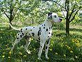 Dalmatian Bamsej Magiczna Oaza2.jpg