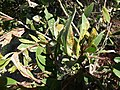 Damage caused by Myrtle Rust, a plant fungus (8069323577).jpg