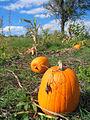 Damascus pumpkin picking.jpg