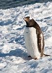 Danco Island Antarctica Gentoo Penguin 3 (40371794193).jpg