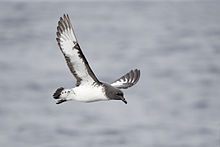 Daption capense in flight 3 - SE Tasmania.jpg