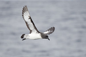 Cape petrel - Image: Daption capense in flight 3 SE Tasmania