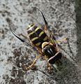 Dasysyrphus albostriatus (female) - Flickr - S. Rae (2).jpg