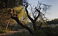 Dead Aleppo Pine, Pinet 02.jpg