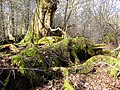 Decaying tree remnants, Savernake Forest - geograph.org.uk - 344475.jpg