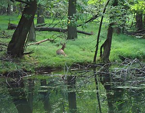 Union County, New Jersey - Deer resting in county park with stream near Union County College Cranford NJ