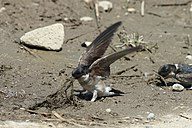 A bird with blue head, brown wings and white underparts on ground is pulling up muddy grass