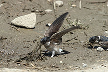 Bird with blue head, brown wings and white underparts on the ground pulling up muddy grass with its wings spread. Another such bird is to the right, with its beak, also pulling up grass.