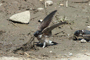 Delichon - Asian house martin gathering nest material in Japan
