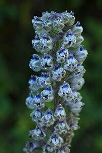 Delphinium californicum ssp. californicum.jpg