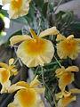 Dendrobium aggregatum2.jpg