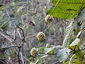 Dendrocalamus strictus (3213313446).jpg