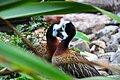 Dendrocygna viduata - Weltvogelpark Walsrode 2010.jpg