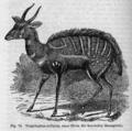 Descent of Man - Burt 1874 - Fig 70.png