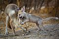 Desert Fox pup playing with its mother.jpg